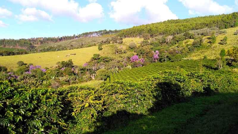 Minas-Hill-Coffee-Brazilian-Bean-Specialty-Sitio-Boa-Vista-800x450